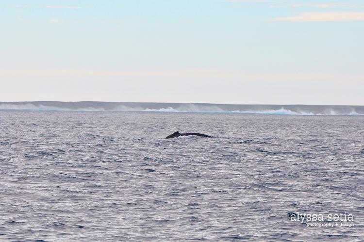 AU, whaleshark