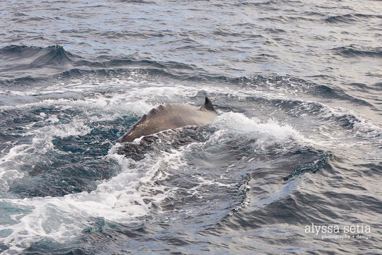 AU, whaleshark4